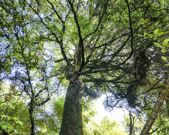 New Zealand Beech Tree in the flora and fauna of the Abel Tasman National Park