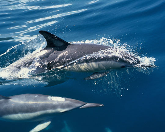 New Zealand Common Dolphin in the flora and fauna of the Abel Tasman National Park
