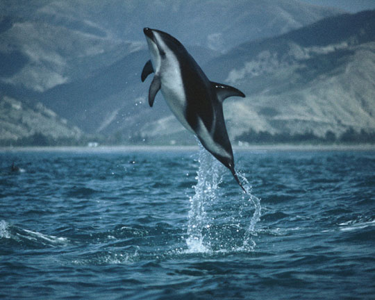 New Zealand Dusky Dolphin in the flora and fauna of the Abel Tasman National Park