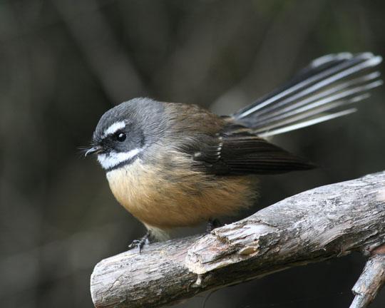 New Zealand Fantail (Piwakawaka) in the flora and fauna of the Abel Tasman National Park