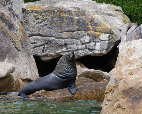 New Zealand Fur Seal in the flora and fauna of the Abel Tasman National Park