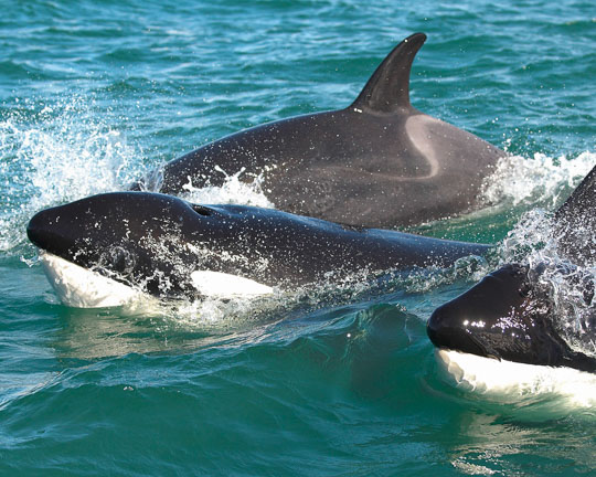 New Zealand Orca in the flora and fauna of the Abel Tasman National Park